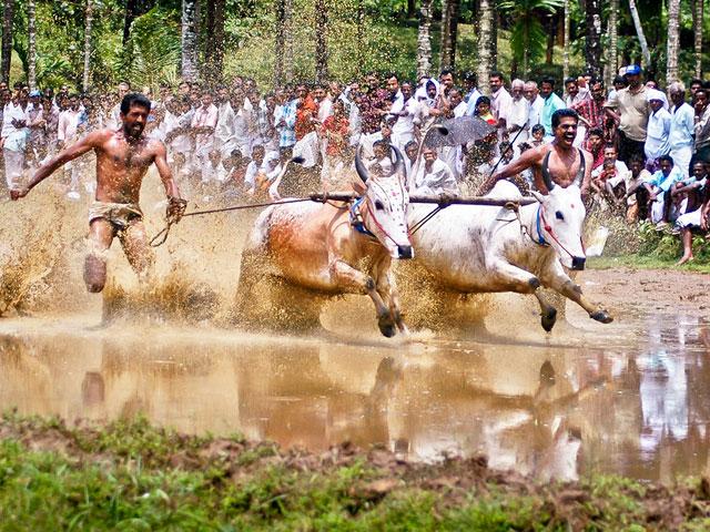 things to see in kerala-  Bullock Race in Kerala