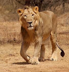 Wildlife Safari in Gujarat