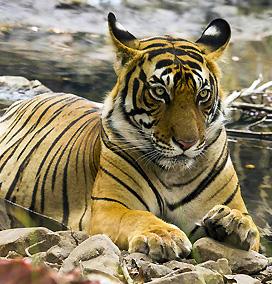 India Golden Triangle Tour & Tiger Safari