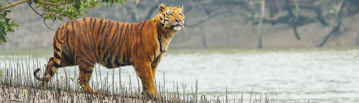 Royal Bengal tiger Reserve