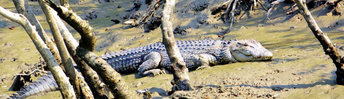 Bhagabatpur Crocodile