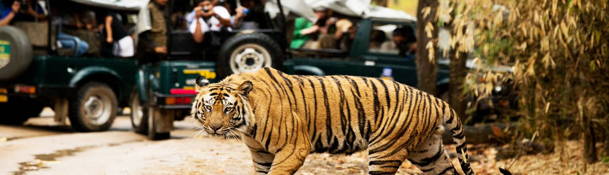 tiger-safari-in-Bandhavgarh-national-park