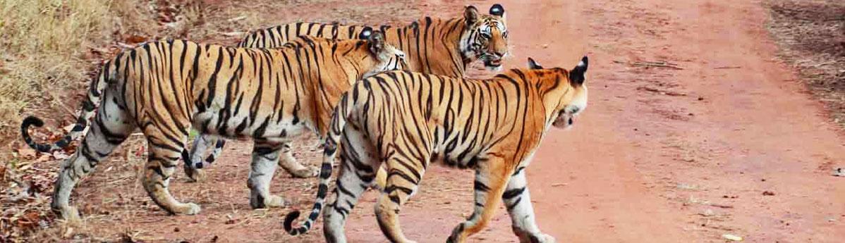 sariska tiger