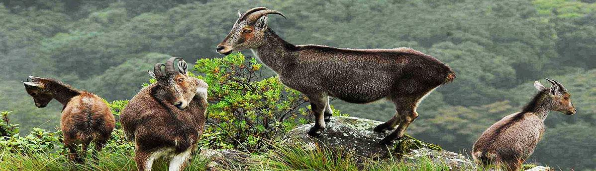 eravikulam-national-park