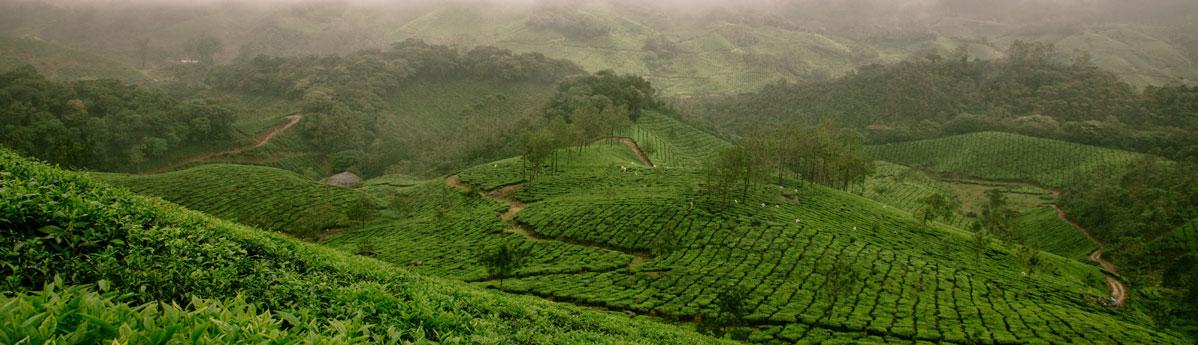 munnar-tea-garden