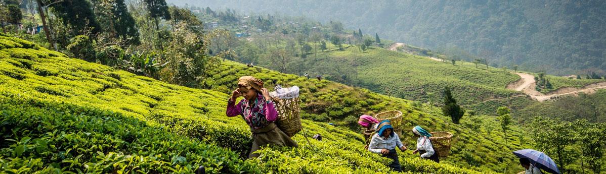 tea-estates