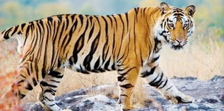 Pench National Park Tour Package from Nagpur