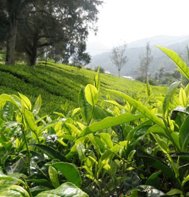 Coffee Plantation, Munnar
