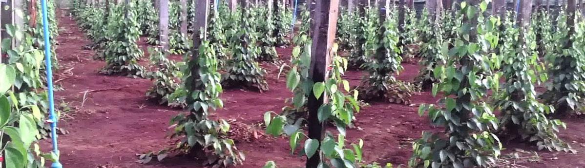 Pepper Plantations, Coorg