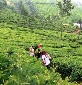 Tea Plantation, Wayanad