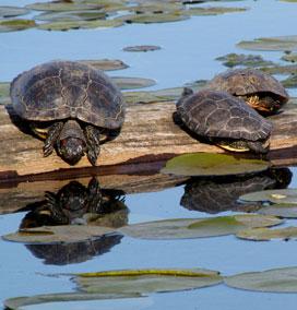 Turtles at Kanak Island