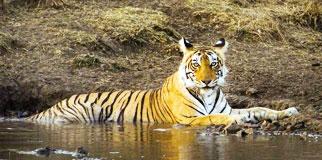 Bandipur National Park Resorts