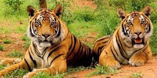Sariska Tiger Reserve Resorts